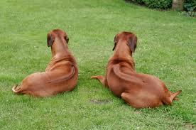 Boerboels and Rhodesian Ridgebacks - my favourite dogs (2/6)