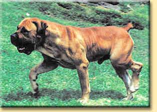 Boerboels and Rhodesian Ridgebacks - my favourite dogs (6/6)