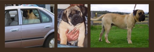 Dandaloo Mack. Pic in centre shows him at 7 weeks