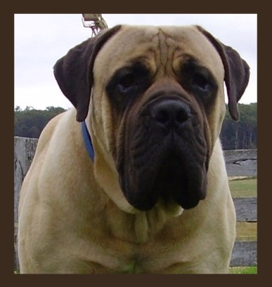 Different kinds of Boerboels – Janet Carr @
