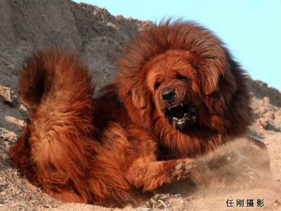 The Tibetan Mastiff (2/6)