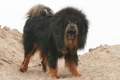 The Tibetan Mastiff (3/6)