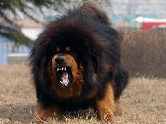 The Tibetan Mastiff (4/6)