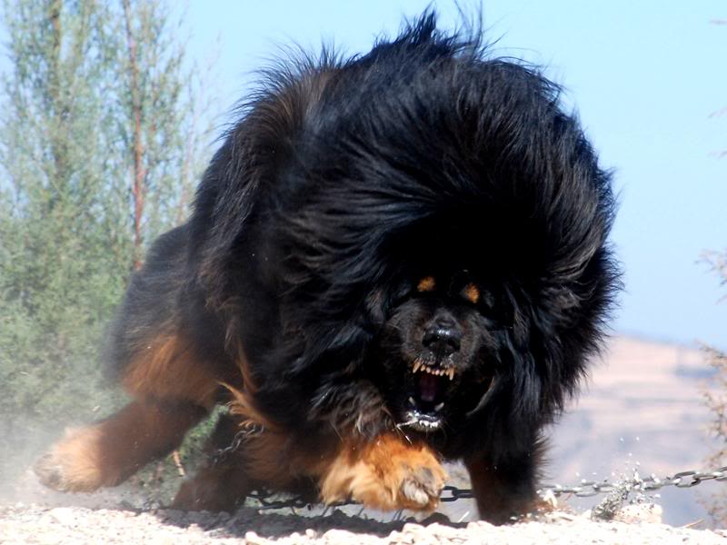 The Tibetan Mastiff (6/6)