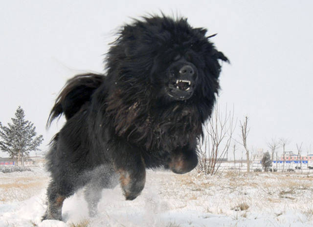Biggest-Tibetan-Mastiff-8