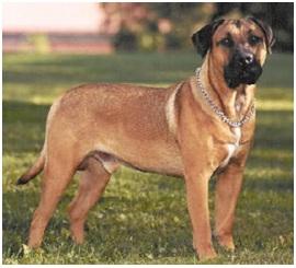 Dogo Canarios 2
