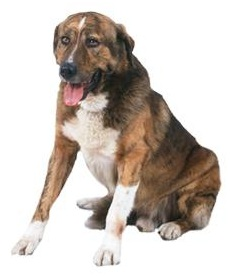 Portuguese Mastiff