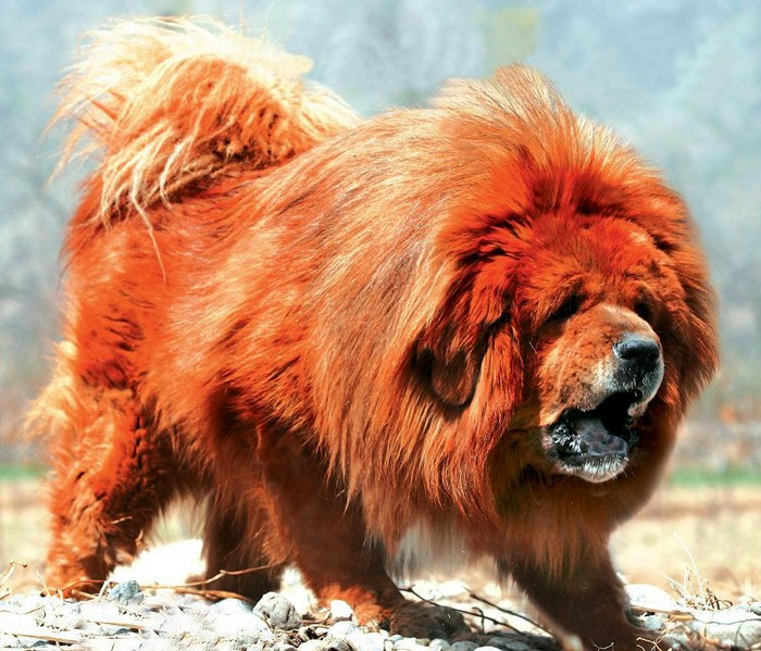 Red-Tibetan-Mastiff-adult
