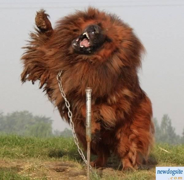 The Tibetan Mastiff (1/6)