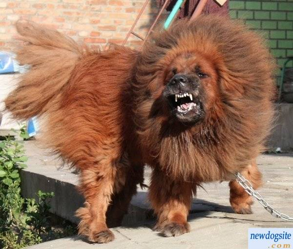 red_tibetan_mastiff_201123201611156778023