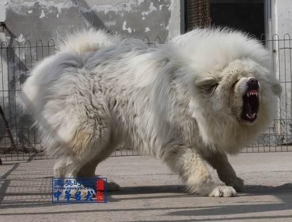 Blue grey tibetan mastiff images amp pictures becuo