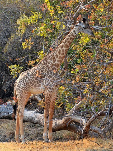1024px-giraffa_camelopardalis_thornicrofti