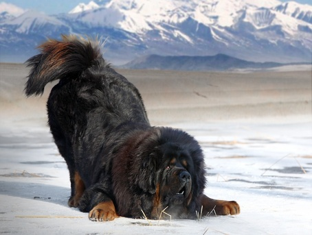455_Tibetan_Mastiff_Bowing_crop