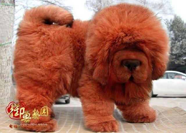 the tibetan mastiff janet carr. Black Bedroom Furniture Sets. Home Design Ideas