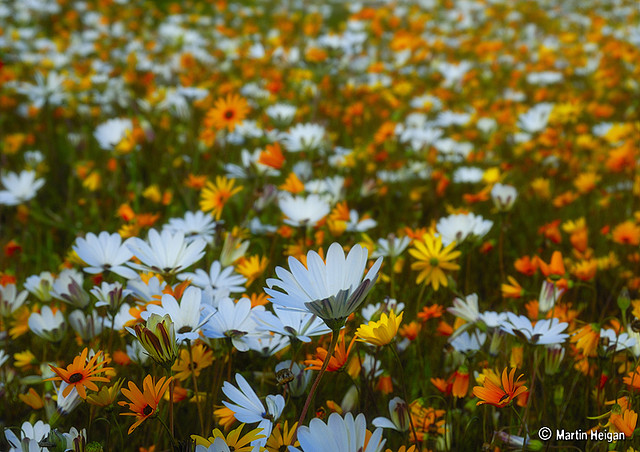 92 Best Namaqualand Daisies images | News south africa ...