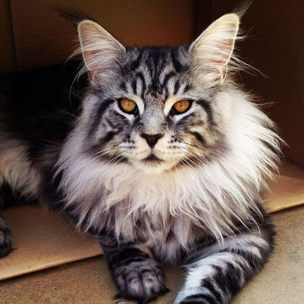 maine-coon-cats25
