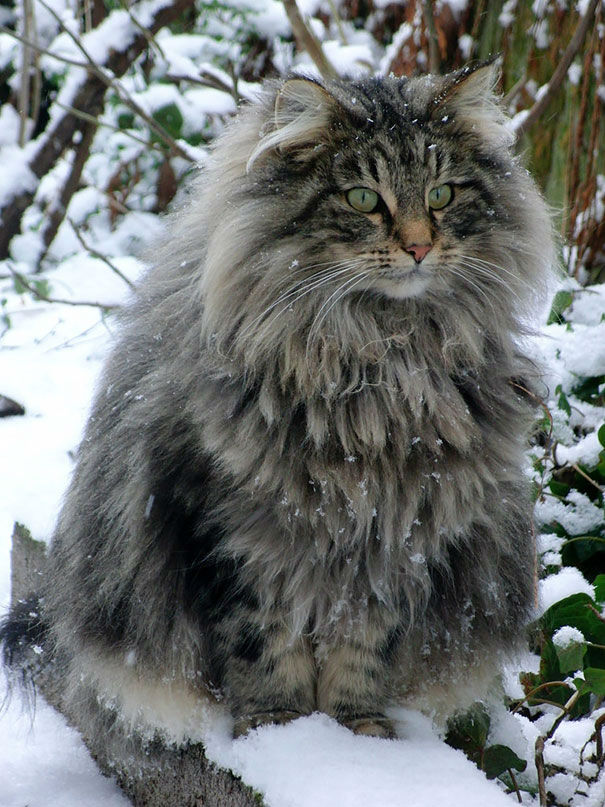 maine-coon-cats85