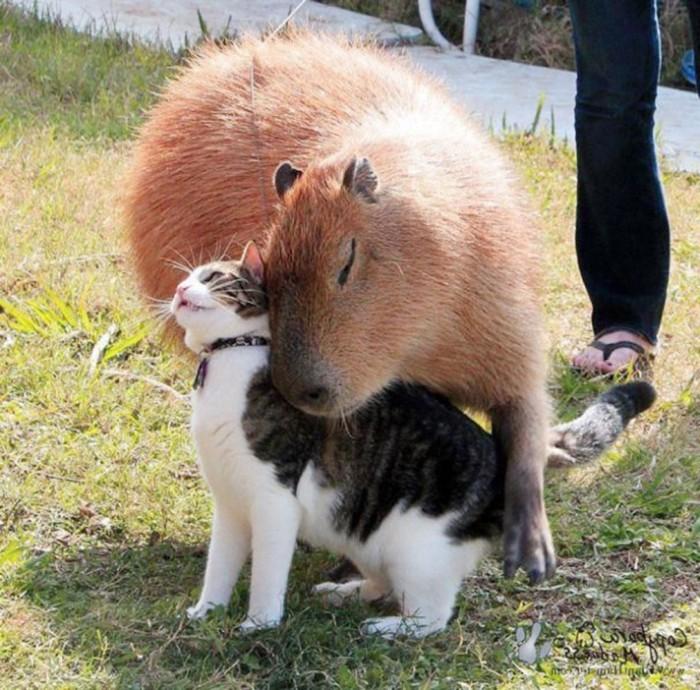 Capybara-And-Cat-Cat-Picture-712x702