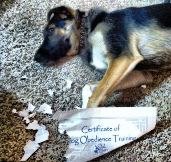 2a88b543c4711c7280d64b41a72cb56e-dog-eats-certificate-of-dog-obedience