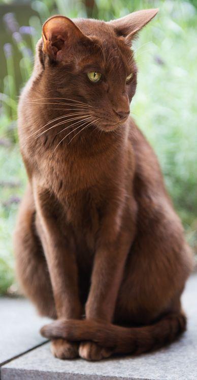 gray long hair cat