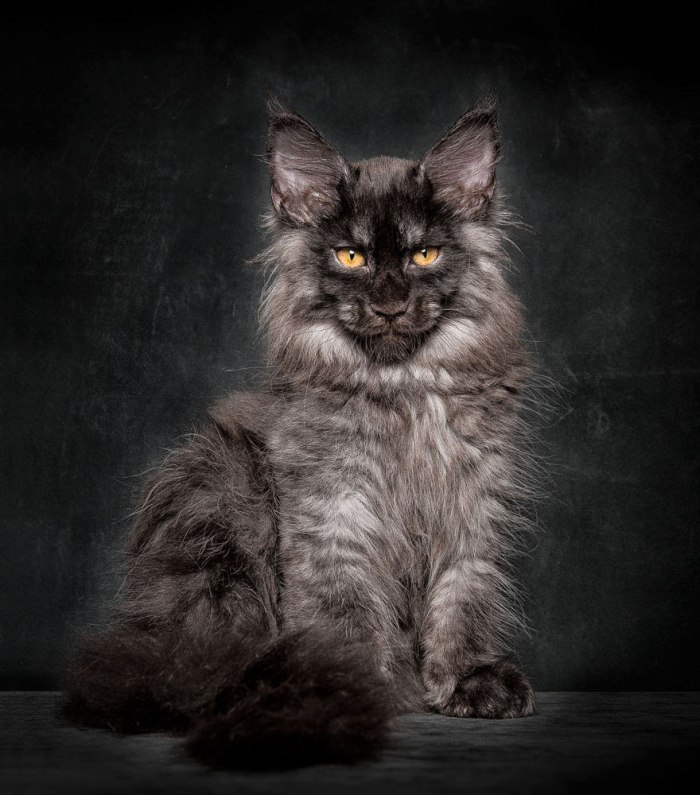 maine-coon-cat-photography-robert-sijka-16-57ad8ed7637c9__880