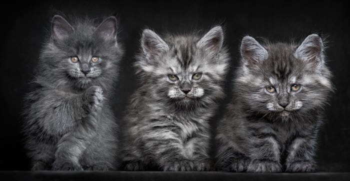 maine-coon-cat-photography-robert-sijka-20-57ad8ede62ef3__880