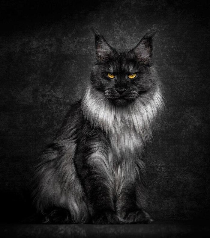 maine-coon-cat-photography-robert-sijka-21-57ad8edfdf87e__880