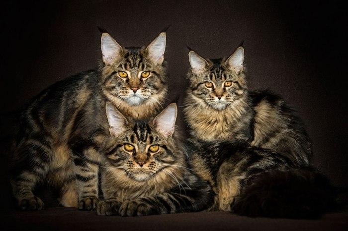 maine-coon-cat-photography-robert-sijka-25-57ad8ee7c775c__880
