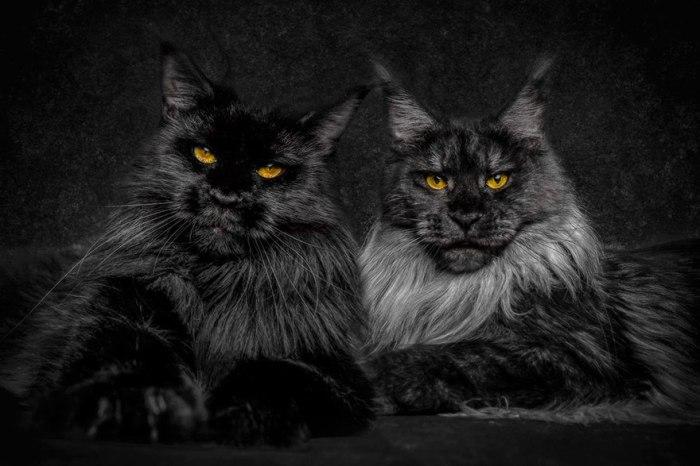 maine-coon-cat-photography-robert-sijka-33-57ad8ef5a723b__880