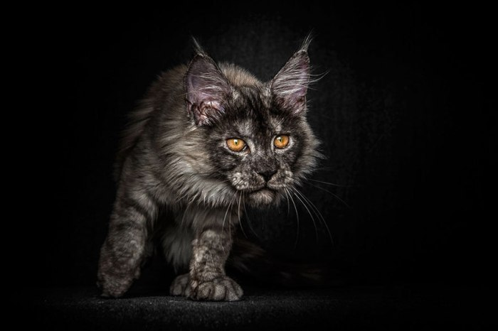 maine-coon-cat-photography-robert-sijka-36-57ad8efaf1d99__880