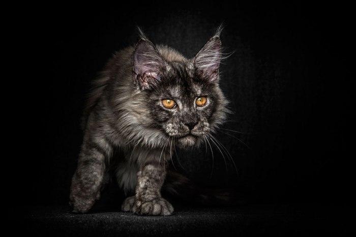 maine-coon-cat-photography-robert-sijka-36-57ad8efaf1d99__880