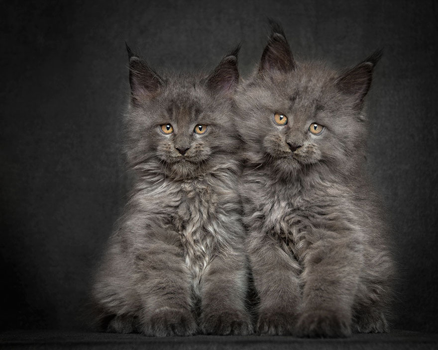 robert sijka s photographs of maine coon cats janet carr. Black Bedroom Furniture Sets. Home Design Ideas