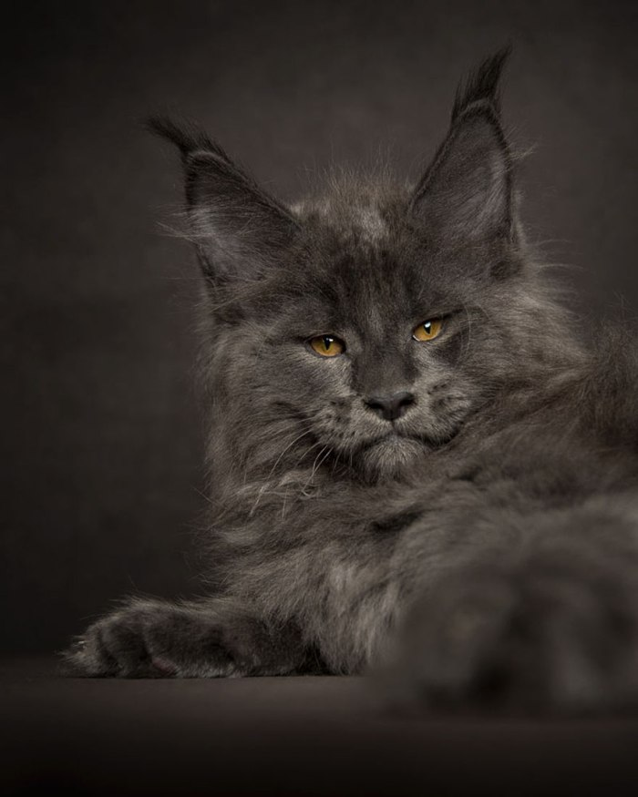 maine-coon-cat-photography-robert-sijka-46-57ad8f0ac0d82__880