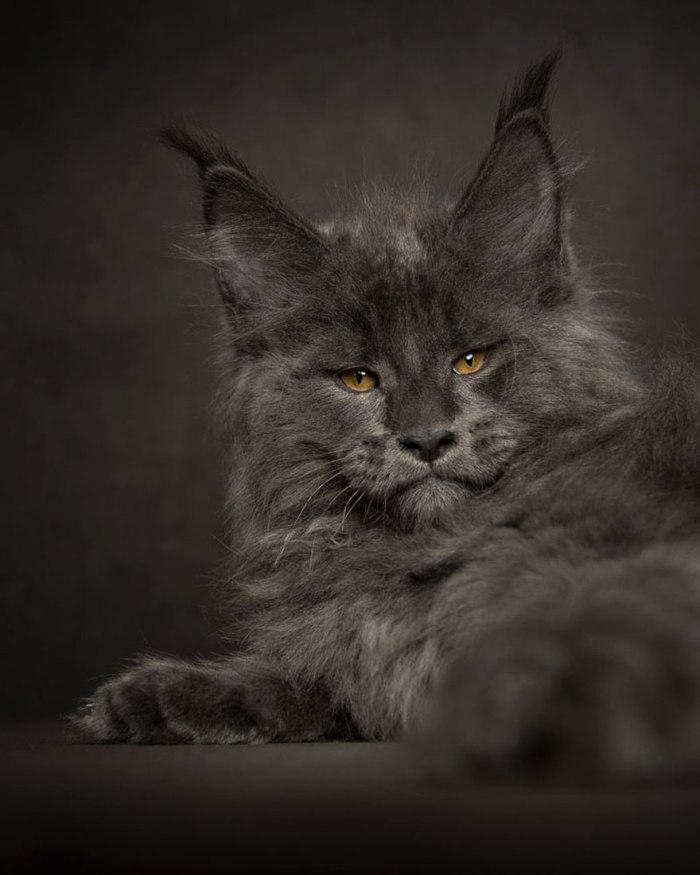 maine-coon-cat-photography-robert-sijka-46-57ad8f0ac0d82__880