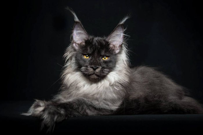 maine-coon-cat-photography-robert-sijka-50-57ad8f11ca4c5__880