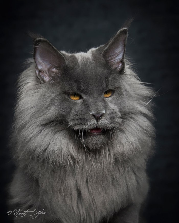 maine-coon-cat-photography-robert-sijka-57-57ad8f1f54bb2__880