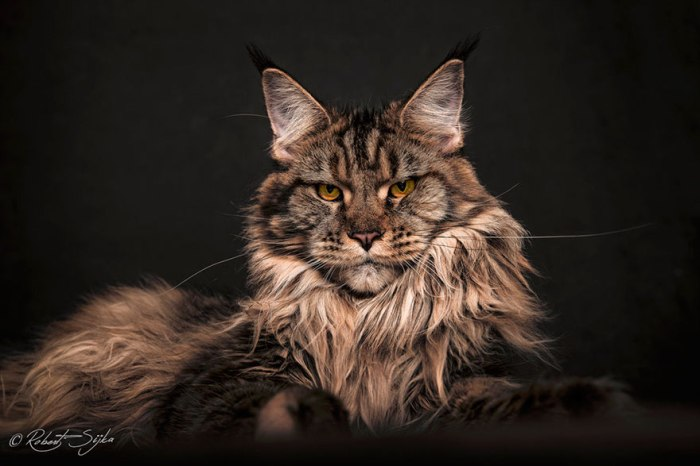 maine-coon-cat-photography-robert-sijka-58-57ad8f215eac9__880