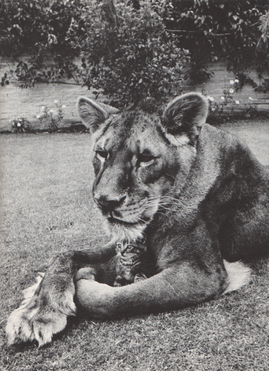 Little Tyke, the vegetarian lion – Janet Carr
