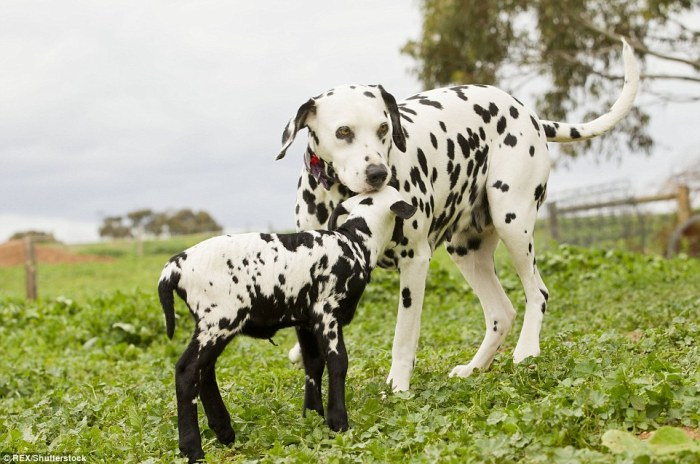 36a28bf100000578-3713587-spot_the_difference_an_affectionate_lamb_nuzzles_his_dalmatian_d-a-26_1469742883249