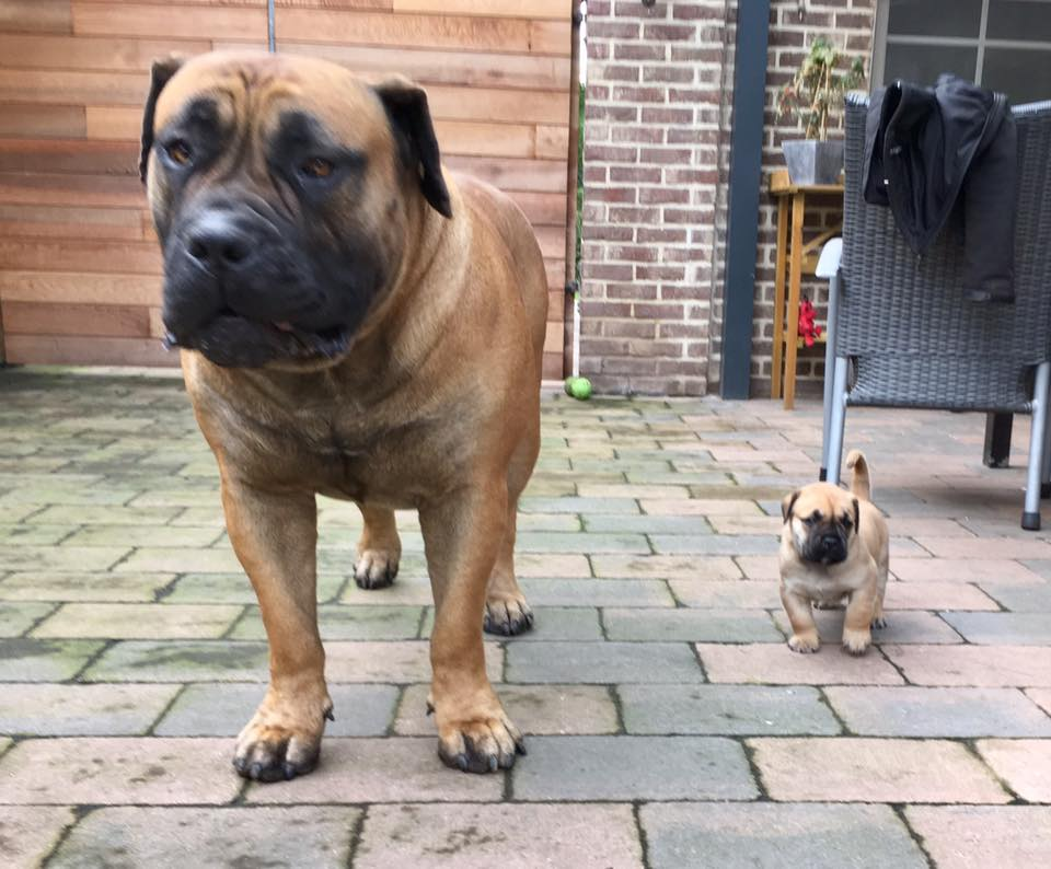 south african boerboels – Janet Carr @